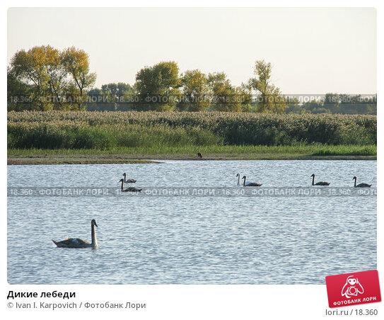 Дикие лебеди, фото № 18360, снято 27 сентября 2006 г. (c) Ivan I. Karpovich / Фотобанк Лори