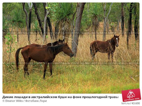 Дикие лошади в австралийском буше на фоне прошлогодней травы, фото № 43600, снято 3 июня 2007 г. (c) Eleanor Wilks / Фотобанк Лори