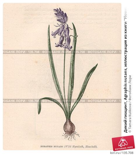"""Дикий гиацинт, Agraphis nutans, иллюстрация из книги """"Flowers of the field"""", издано в Лондоне в 1888, ручная раскраска, иллюстрация № 135708 (c) Tamara Kulikova / Фотобанк Лори"""