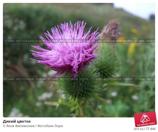 Дикий цветок, фото № 77444, снято 28 июля 2007 г. (c) Яков Филимонов / Фотобанк Лори