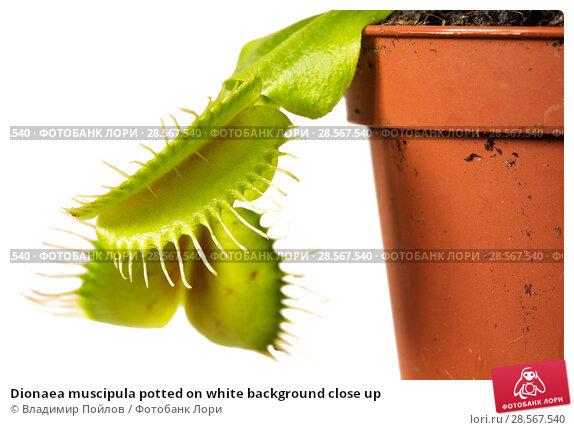 Купить «Dionaea muscipula potted on white background close up», фото № 28567540, снято 18 июня 2018 г. (c) Владимир Пойлов / Фотобанк Лори