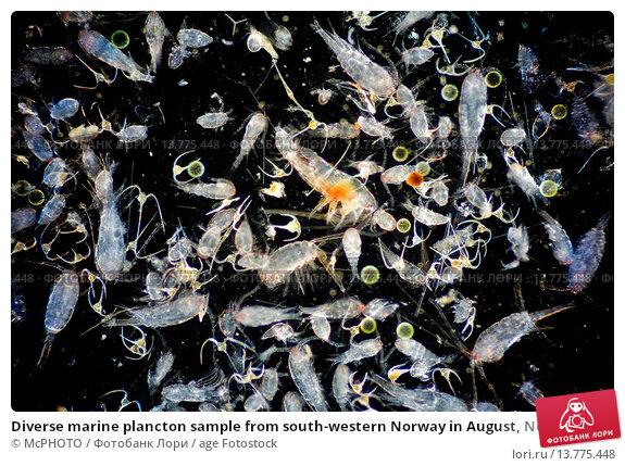 Купить «Diverse marine plancton sample from south-western Norway in August, Norway», фото № 13775448, снято 13 января 2018 г. (c) age Fotostock / Фотобанк Лори