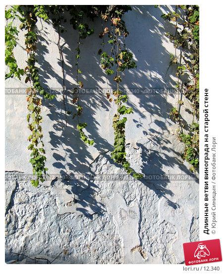 Длинные ветви винограда на старой стене, фото № 12340, снято 25 сентября 2006 г. (c) Юрий Синицын / Фотобанк Лори
