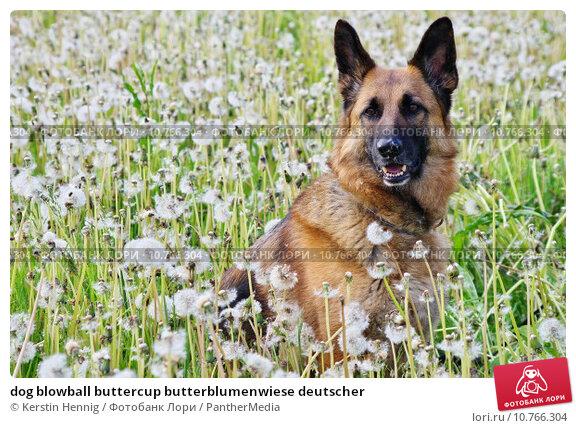 Купить «dog blowball buttercup butterblumenwiese deutscher», фото № 10766304, снято 16 февраля 2019 г. (c) PantherMedia / Фотобанк Лори