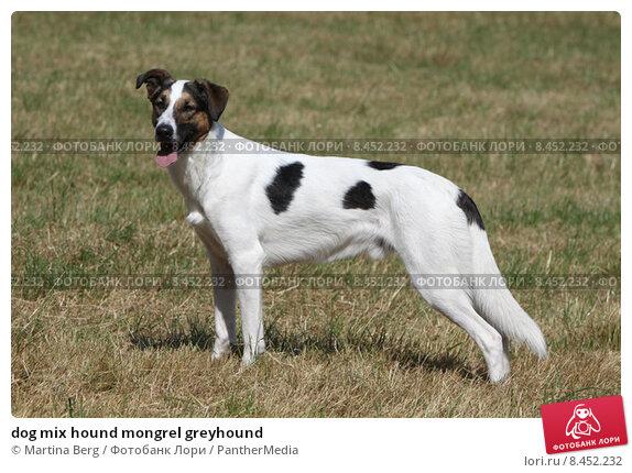 Купить «dog mix hound mongrel greyhound», фото № 8452232, снято 22 сентября 2019 г. (c) PantherMedia / Фотобанк Лори