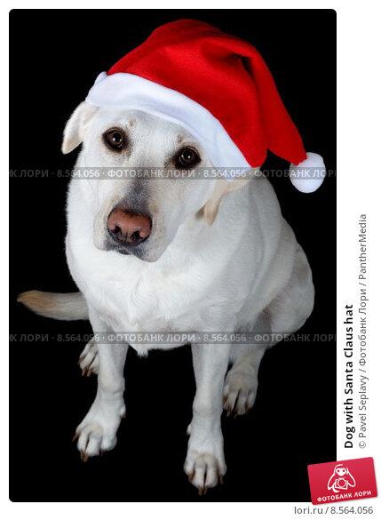 Купить «Dog with Santa Claus hat», фото № 8564056, снято 22 июля 2019 г. (c) PantherMedia / Фотобанк Лори