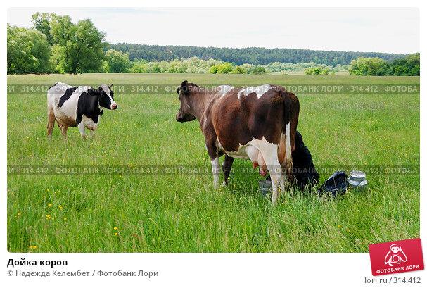 Дойка коров, фото № 314412, снято 31 мая 2008 г. (c) Надежда Келембет / Фотобанк Лори