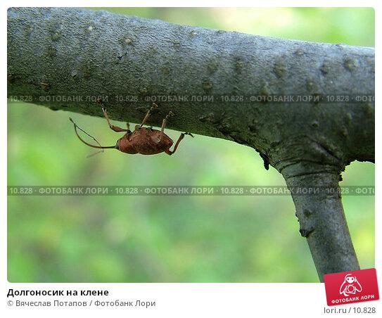 Долгоносик на клене, фото № 10828, снято 5 мая 2004 г. (c) Вячеслав Потапов / Фотобанк Лори