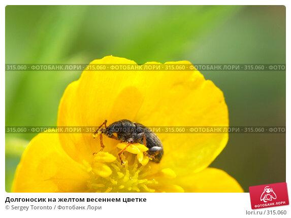 Долгоносик на желтом весеннем цветке, фото № 315060, снято 11 мая 2008 г. (c) Sergey Toronto / Фотобанк Лори