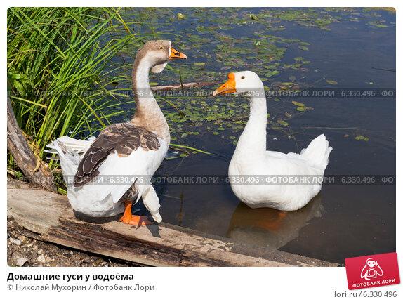 Купить «Домашние гуси у водоёма», фото № 6330496, снято 13 августа 2014 г. (c) Николай Мухорин / Фотобанк Лори