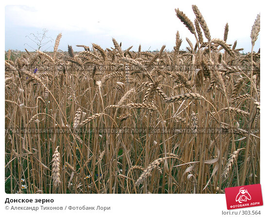 Купить «Донское зерно», фото № 303564, снято 1 января 2004 г. (c) Александр Тихонов / Фотобанк Лори