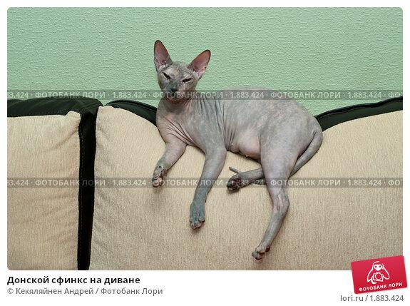 Купить «Донской сфинкс на диване», фото № 1883424, снято 14 июля 2010 г. (c) Кекяляйнен Андрей / Фотобанк Лори