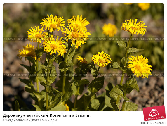 Дороникум алтайский  Doronicum altaicum, фото № 134904, снято 14 августа 2006 г. (c) Serg Zastavkin / Фотобанк Лори