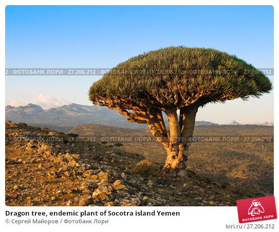 Купить «Dragon tree, endemic plant of Socotra island Yemen», фото № 27206212, снято 10 ноября 2009 г. (c) Сергей Майоров / Фотобанк Лори
