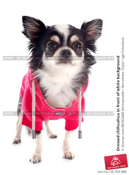 Dressed chihuahua in front of white background. Стоковое фото, фотограф Zoonar.com/BONZAMI Emmanuelle / age Fotostock / Фотобанк Лори