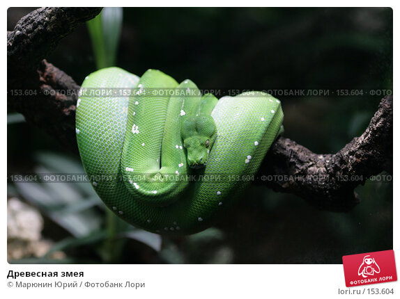 Древесная змея, фото № 153604, снято 10 декабря 2007 г. (c) Марюнин Юрий / Фотобанк Лори