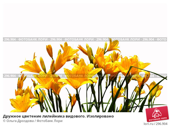 Дружное цветение лилейника видового. Изолировано, фото № 296904, снято 25 июля 2017 г. (c) Ольга Дроздова / Фотобанк Лори