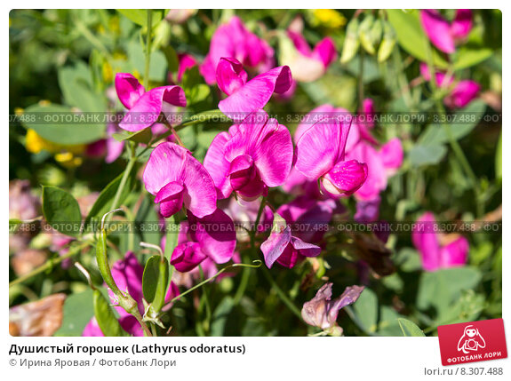 Купить «Душистый горошек (Lathyrus odoratus)», фото № 8307488, снято 13 июля 2015 г. (c) Ирина Яровая / Фотобанк Лори