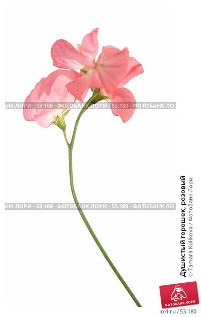 Душистый горошек, розовый, фото № 53180, снято 17 июня 2007 г. (c) Tamara Kulikova / Фотобанк Лори