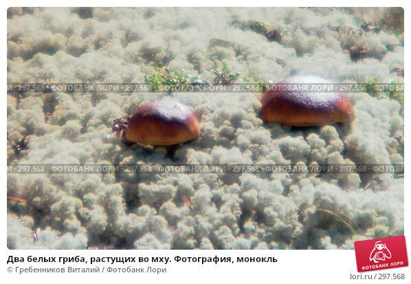 Купить «Два белых гриба, растущих во мху. Фотография, монокль», фото № 297568, снято 20 марта 2018 г. (c) Гребенников Виталий / Фотобанк Лори
