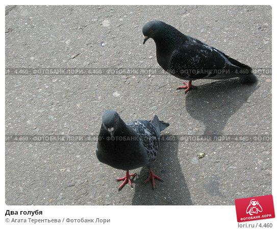 Два голубя, фото № 4460, снято 21 мая 2006 г. (c) Агата Терентьева / Фотобанк Лори