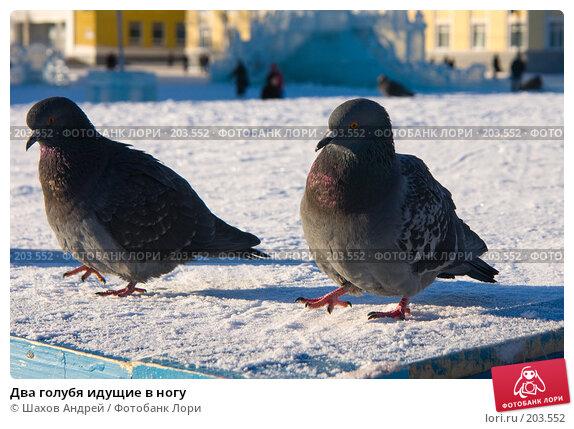 Два голубя идущие в ногу, фото № 203552, снято 7 февраля 2008 г. (c) Шахов Андрей / Фотобанк Лори
