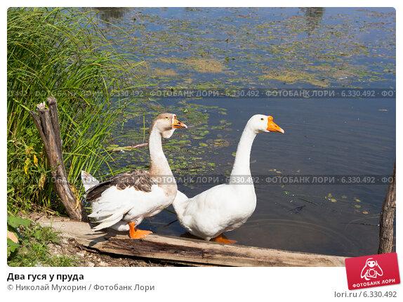 Купить «Два гуся у пруда», фото № 6330492, снято 13 августа 2014 г. (c) Николай Мухорин / Фотобанк Лори