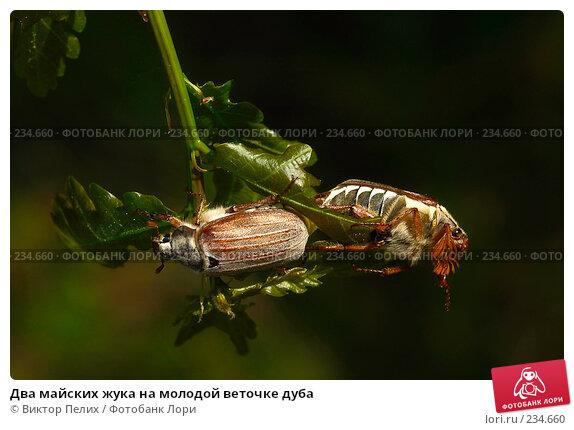 Два майских жука на молодой веточке дуба, фото № 234660, снято 20 мая 2007 г. (c) Виктор Пелих / Фотобанк Лори
