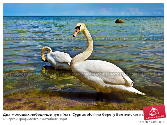 Купить «Два молодых лебедя-шипуна (лат. Cygnus olor) на берегу Балтийского моря», фото № 4040016, снято 10 июня 2012 г. (c) Сергей Трофименко / Фотобанк Лори