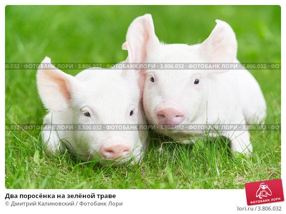 Купить «Два поросёнка на зелёной траве», фото № 3806032, снято 30 августа 2012 г. (c) Дмитрий Калиновский / Фотобанк Лори