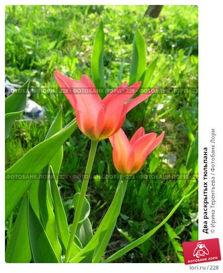 Два раскрытых тюльпана, эксклюзивное фото № 228, снято 8 мая 2004 г. (c) Ирина Терентьева / Фотобанк Лори