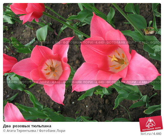 Два  розовых тюльпана, фото № 4440, снято 21 мая 2006 г. (c) Агата Терентьева / Фотобанк Лори