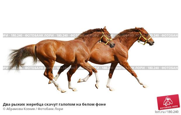 Два рыжих жеребца скачут галопом на белом фоне, фото № 180240, снято 4 августа 2007 г. (c) Абрамова Ксения / Фотобанк Лори