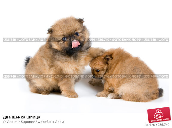 Два щенка шпица, фото № 236740, снято 16 марта 2008 г. (c) Vladimir Suponev / Фотобанк Лори