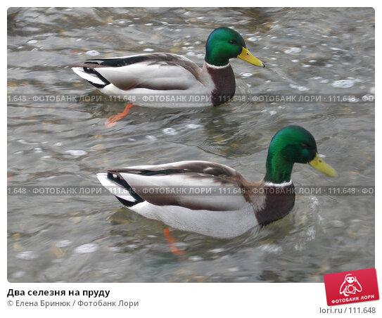 Два селезня на пруду, фото № 111648, снято 17 февраля 2007 г. (c) Елена Бринюк / Фотобанк Лори