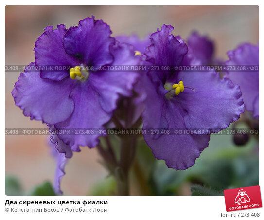 Два сиреневых цветка фиалки, фото № 273408, снято 21 октября 2016 г. (c) Константин Босов / Фотобанк Лори