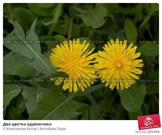Купить «Два цветка одуванчика», фото № 269664, снято 12 декабря 2017 г. (c) Константин Босов / Фотобанк Лори