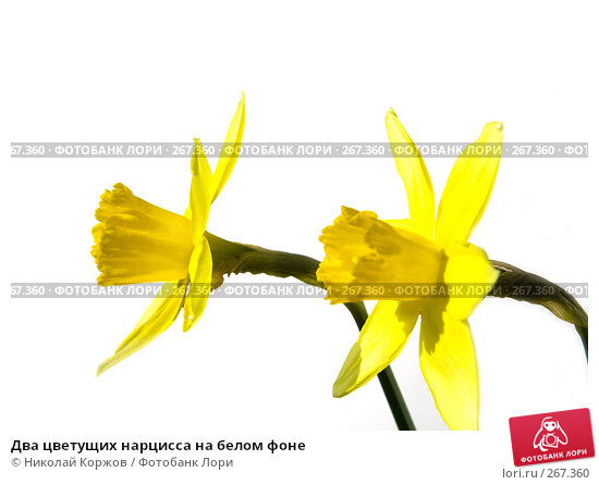 Два цветущих нарцисса на белом фоне, фото № 267360, снято 29 марта 2008 г. (c) Николай Коржов / Фотобанк Лори