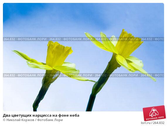 Два цветущих нарцисса на фоне неба, фото № 264832, снято 29 марта 2008 г. (c) Николай Коржов / Фотобанк Лори