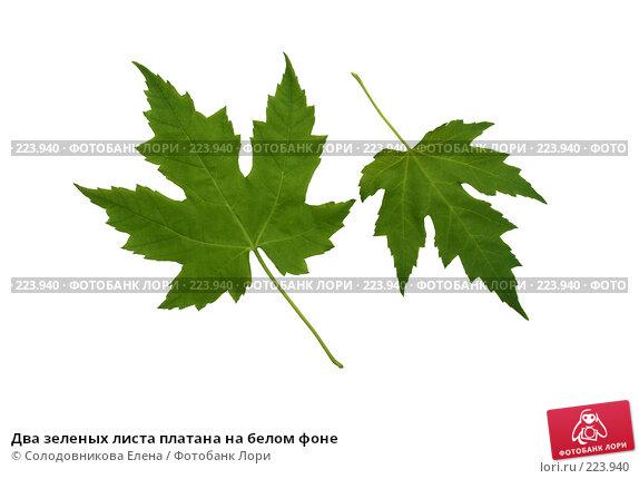 Два зеленых листа платана на белом фоне, фото № 223940, снято 7 июня 2007 г. (c) Солодовникова Елена / Фотобанк Лори