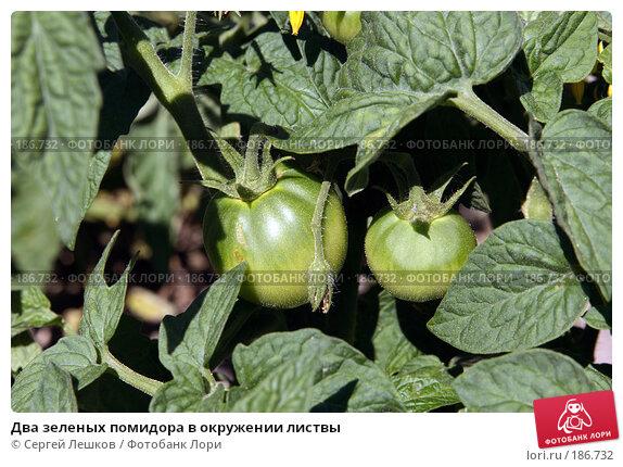 Два зеленых помидора в окружении листвы, фото № 186732, снято 28 июля 2007 г. (c) Сергей Лешков / Фотобанк Лори