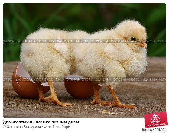 Купить «Два  желтых цыпленка летним днем», фото № 224924, снято 26 мая 2007 г. (c) Останина Екатерина / Фотобанк Лори