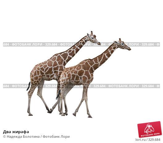 Два жирафа, фото № 329684, снято 29 апреля 2008 г. (c) Надежда Болотина / Фотобанк Лори