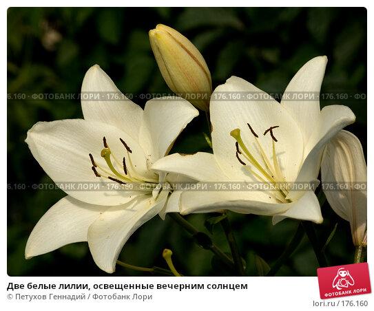 Две белые лилии, освещенные вечерним солнцем, фото № 176160, снято 24 июля 2007 г. (c) Петухов Геннадий / Фотобанк Лори