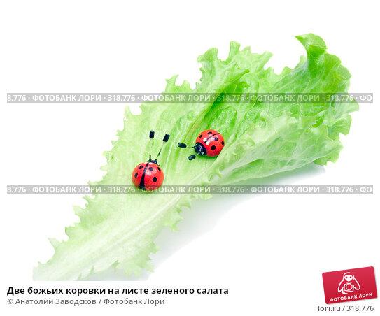 Купить «Две божьих коровки на листе зеленого салата», фото № 318776, снято 15 марта 2007 г. (c) Анатолий Заводсков / Фотобанк Лори