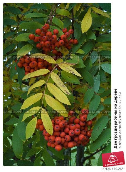 Две грозди рябины на дереве, фото № 10268, снято 12 сентября 2006 г. (c) Форис Алексей / Фотобанк Лори
