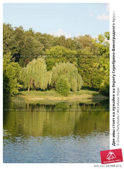 Две ивы стоят на лужайке на берегу Серебряно-Виноградного пруда, отражаясь в воде летом. Стоковое фото, фотограф Ольга Липунова / Фотобанк Лори