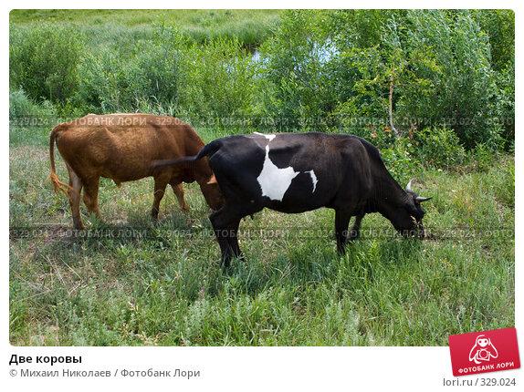 Две коровы, фото № 329024, снято 19 июня 2008 г. (c) Михаил Николаев / Фотобанк Лори