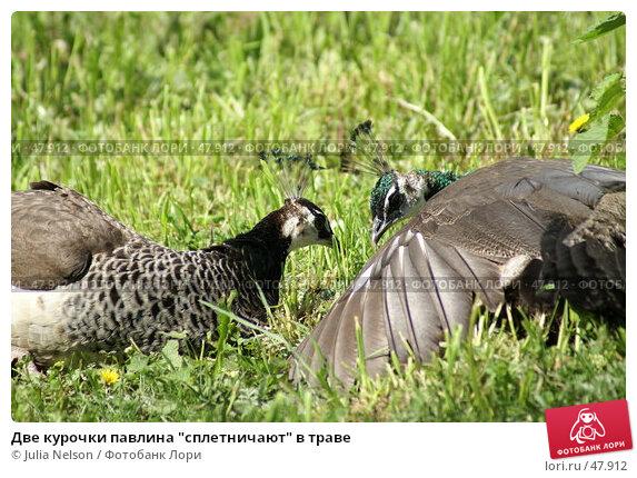 """Две курочки павлина """"сплетничают"""" в траве, фото № 47912, снято 20 мая 2007 г. (c) Julia Nelson / Фотобанк Лори"""