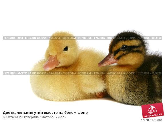 Две маленькие утки вместе на белом фоне, фото № 176884, снято 24 мая 2007 г. (c) Останина Екатерина / Фотобанк Лори